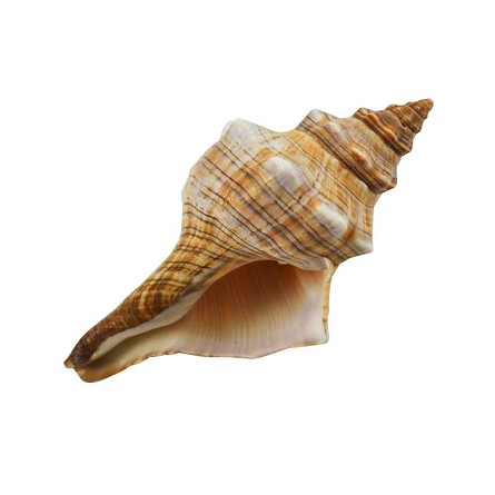 Fox Conch Shell 6 Quot 7 Quot Real Sea Shells Beach Party