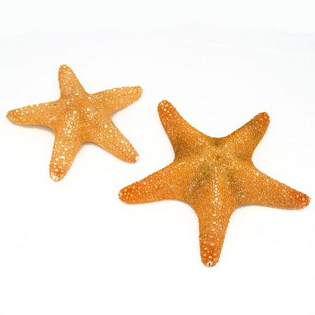 Jungle Starfish - 2 sizes