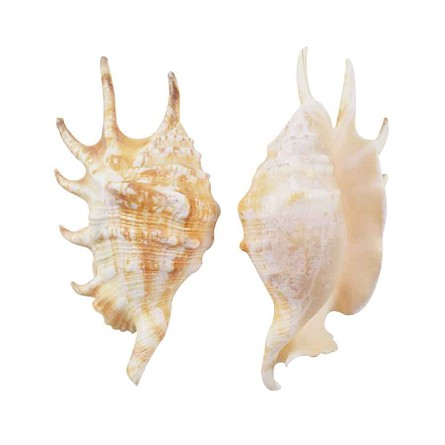 "Spider Conch Shell (Lambis Lambis) - 5""-6"""