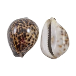Tiger Cowrie Shell - 2