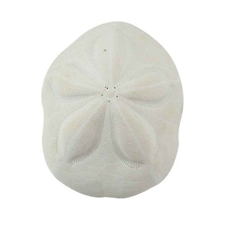 White Sea Biscuit Seashell 5-6""